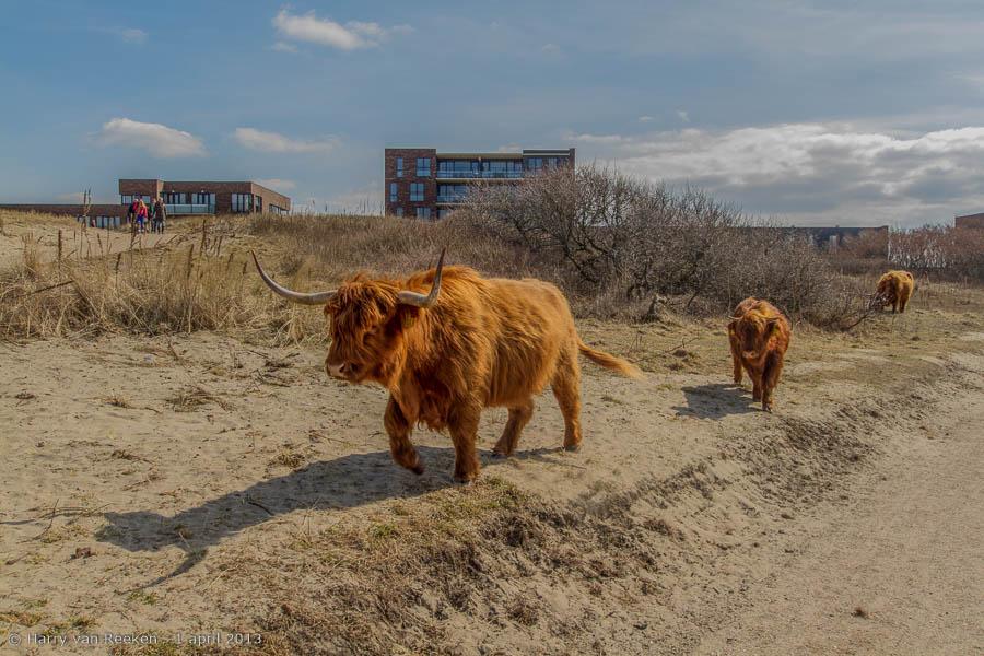 Westduinpark - Schorse Hooglanders-07