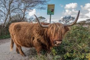 Westduinpark - Schorse Hooglanders-10