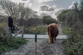 Westduinpark - Schorse Hooglanders-12